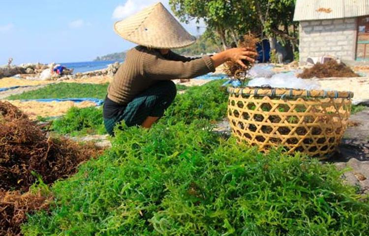 Nusa-Penida-Miliki-Rumput-Laut-Langka-Di-Dunia.html